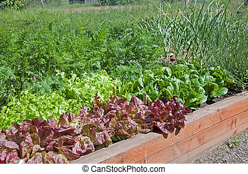 This organic raised bed lettuce garden shows red and green lettuce, also some carrots and garlic for a fresh, home grown gardening delight.