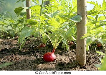 Organic red radish growing on soil in greenhouse.