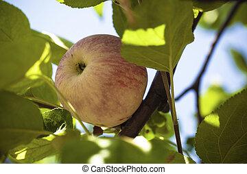 Organic ripe apple