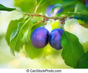 Organic Ripe Plums Growing in orchard