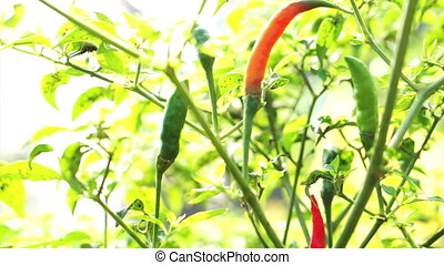 Organic Spicy Red Cayenne chilli - video of Organic Spicy...