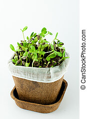 Organic Sunflower Sprouts in White Background