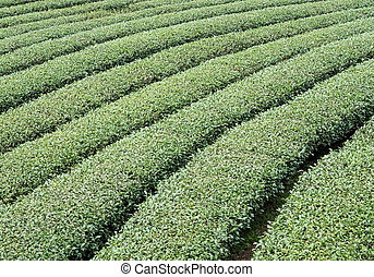 Organic tea rows of the local tea farm.