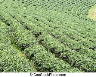 Organic tea rows on the hill.