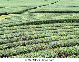Organic tea rows on the slope hill.