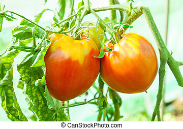 Organic tomatoes in a greenhouse