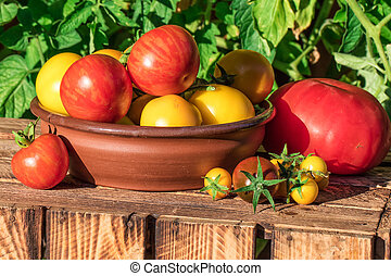 Organic tomatoes in garden, image taken in sunny summer day.