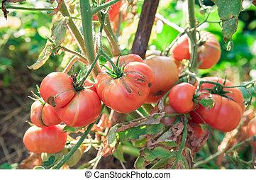 Organic tomatoes in garden