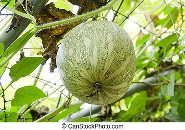 Organic vegetable garden for health