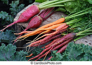 Organic vegetables. Carrots and beets in a wooden box in the garden.