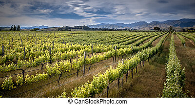 Organic Vineyard sideview under dramatic sky with lenticular clouds in Marlborough area new zealand