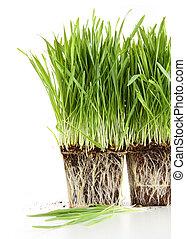 Organic wheat grass on white