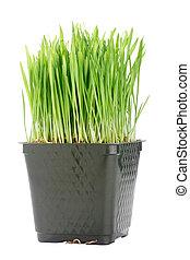 Organic Wheat Grass - Green organic wheat grass against a...
