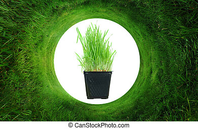 Organic Wheatgrass plant in the middle of a circular lawn.