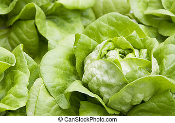 Organically Farmed Butterhead Lettuce - Image of organically...