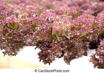 Organically Farmed Red Coral Lettuce - Image of organically ...