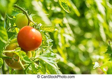 organický, rajče, do, francie