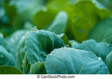 organický, zelí, sklidit, s, zředit vodou poslat řádku