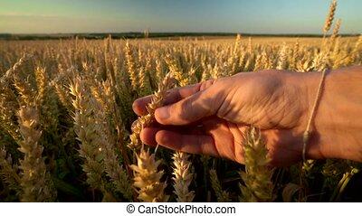 organique, mûre, jaune, pendant, agriculture., mouvementde va-et-vient, pointes, toucher, récolte, day., main, champ, automne, doré, ensoleillé, spikelets, homme, wind., seigle, season., blé