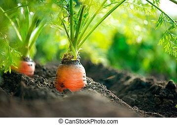 organisch, carrots., wortel, groeiende, closeup