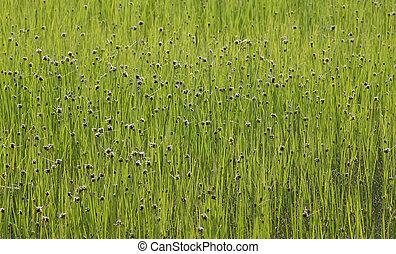 organisch, groen gras, backround