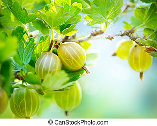 organisch, rijp, kruisbessen, gooseberry., groeiende, fris