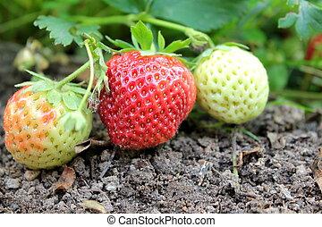 organisch, tuin, aardbeien, closeup, groeiende, fris