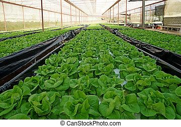 organische , kopfsalat, pakchoi, in, kultiviert, gewächshaus