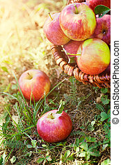 organisk, äpplen, in, sommar, gräs