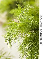 organisk, grön, dill, ört