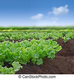 organisk, grönsallat, trädgård