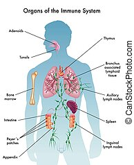 medical illustration of organs of the immune system