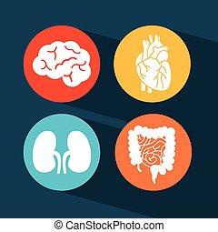 organy, ludzki