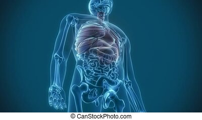 organy, wewnętrzny, -, płuca, ból