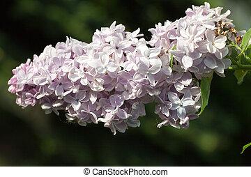 orgona bozót, illatos, eredet, kert