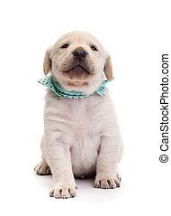 orgulloso, labrador, perrito, perro, tenencia, su, bozal, alto