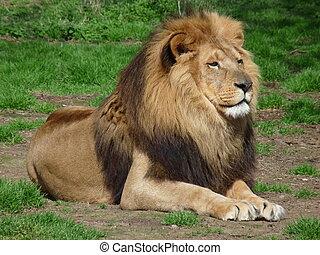 orgulloso, león, sentado, pasto o césped