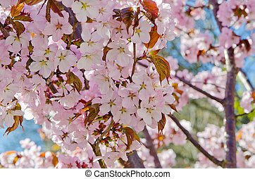 Oriental cherry blossoming in spring park