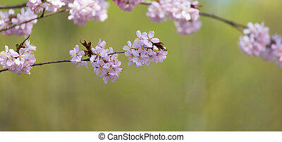 Oriental cherry branch with pink flowers on a green background
