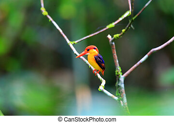 Oriental Dwarf Kingfisher  Ceyx erithaca  in Sri Lanka