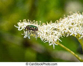 Oriental flower beetle on white flowers 1