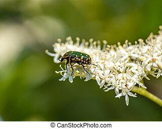 Oriental flower beetle on white flowers 2