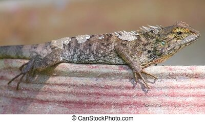 Oriental Garden Lizard Basking - Oriental garden lizard or...