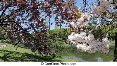 Oriental garden Sakura - Blossoming cherry tree in Hamarikyu...