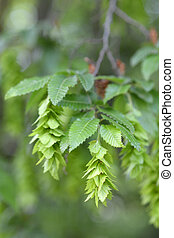 Oriental hornbeam - Latin name - Carpinus orientalis