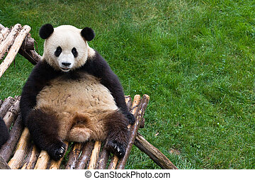 panda bear resting on bamboo bench with green grass in background