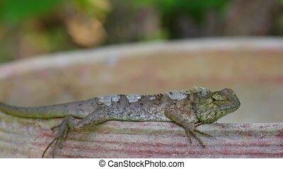 Oriental Lizard Garden Lizard Basking - Oriental garden...