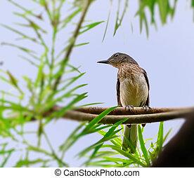 Oriental Magpie Robin juvenile