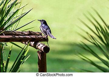 Oriental magpie-robin or Copsychus saularis, small passerine bir