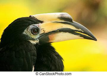 Oriental Pied Hornbill, Sepilok, Borneo, Malaysia - Oriental...